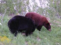Huge Black Bears