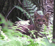 Bobcat in Pennsylvania